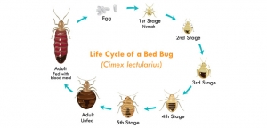 detail-bedbug