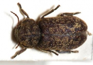 detail-woodbeetle-2