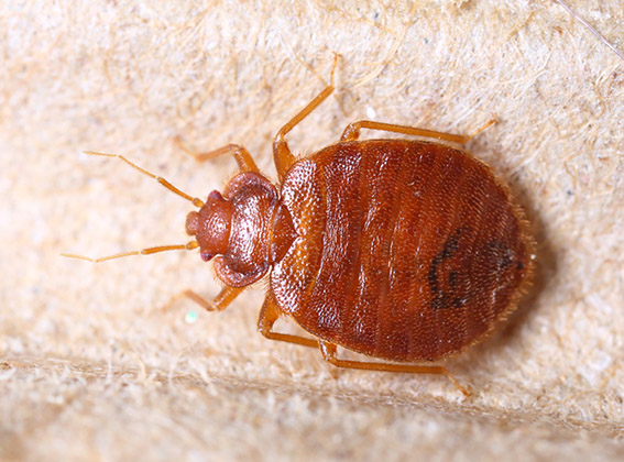 Johnson Group - overview-bedbug-2