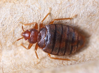 Johnson Group - overview-bedbug