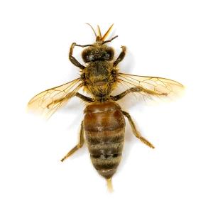 Italian bees (Apis mellifera ligustica)