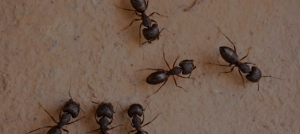 Green Pest Management-Ants