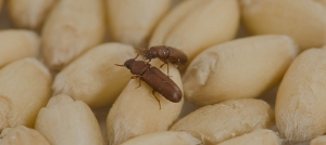 Green Pest Management-Stored Food Beetle