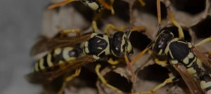 Green Pest Management-Wasp