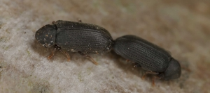 Green Pest Management-Wood-boring Beetle