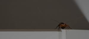 Green Pest Management-cockroach