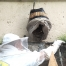 廣叔在工地石牆內拯救蜜蜂, 趕牠們入蜂桶